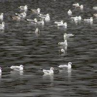чайки на городском озере :: Galina Egorova