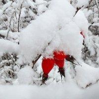 Шиповник под снегом :: Павлова Татьяна Павлова