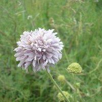 Полевые цветы :: Булаткина Светлана