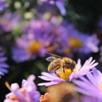 Пчела на агератуме :: Ольга Сельницына