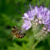 Пчела на фацелии :: Ольга Сельницына