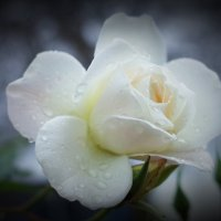 ...oчень поздняя роза :: Swetlana V