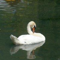Лебедь. Абхазия. Новый Афон. Лебединое озеро. :: Анна Хоменко