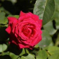 Красная роза :: Наталия Григорьева