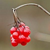 гроздь калины :: юрий иванов