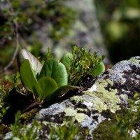 Растущий на камнях... :: Ольга Фролова