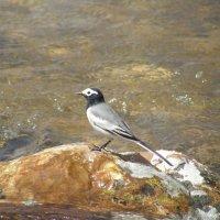 Чистая птица над чистой водой :: Андрей