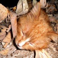 Берестовый   кот :: Vladimir Semenchukov