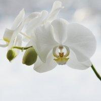 Зима и орхидея :: Наталия Григорьева