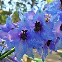 Голубаяя нежность :: Лидия (naum.lidiya)