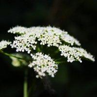 Цветы :: Елизавета Голенок