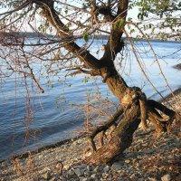 Ходячее дерево :: Булаткина Светлана