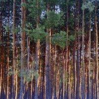 Закат освещает стволы  хвойного леса. :: Валентина ツ ღ✿ღ