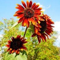Декоративные цветы :: Виктор Шандыбин