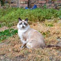 Соседский кот :: Виктор Шандыбин