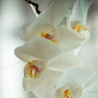 орхидея :: Julia