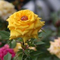 Желтая роза,умытая росой :: Антонина