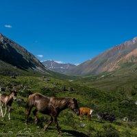 альпийские луга :: Константин Шабалин