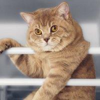 British cat :: Илья В.