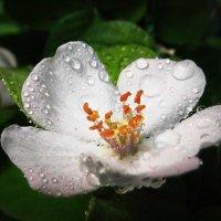 Яблоня цветет :: оксана косатенко