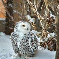 Полярная сова. :: олег