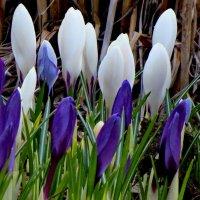 Цветы весны... :: Светлана