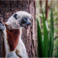 Лемурляндия...Мадагаскар! :: Александр Вивчарик