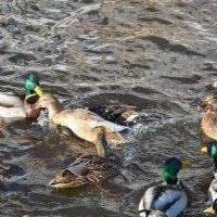 Одна утка хочет утопить другую :: Юрий Кузнецов