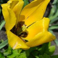 Желтый тюльпан. :: zoja