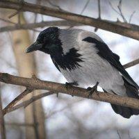 Серая ворона :: krealla 1