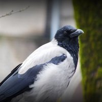 ворона на заборе :: Александр Прокудин