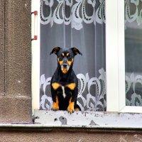 Любопытная краковская собачка :: Денис Кораблёв