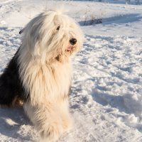 Собака породы бобтейл :: Андрей Зайцев