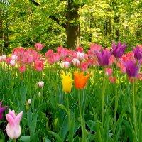 Тюльпаны июня. :: Лия ☼