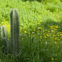 цереус и цветочки в феврале :: Александр Деревяшкин