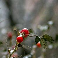 зимний шиповник :: gribushko грибушко Николай