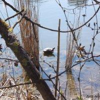 Озеро с черепахами в Мухиной балке :: Нина Бутко