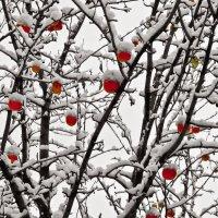 Яблоки на снегу... :: владимир