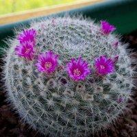 Кактус цветет и зиму и весну беспрерывно :: Александр Деревяшкин