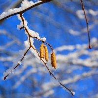 Золотые серёжки на зимних ветвях :: Paparazzi