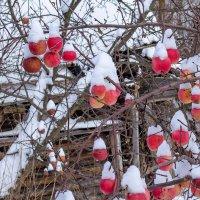 Зимние яблоки :: Владимир Рязанов