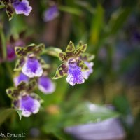 Орхидеи :: Астарта Драгнил