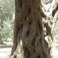Старая маслина :: Марина Домосилецкая