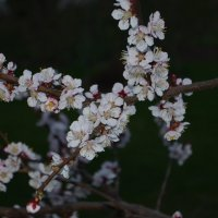 цветение абрикосов :: Галина R...