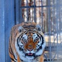 Уссурийский тигр :: Paparazzi