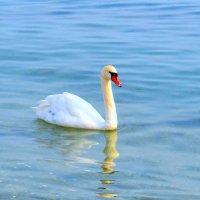 Лебедь :: Виктор Шандыбин