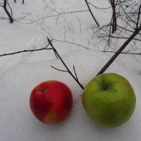 Яблоки на снегу :: Андрей Лукьянов