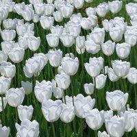Просто тюльпаны :: Андрей Майоров