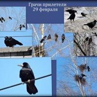 Ура, грачи прилетели! :: Ната Волга
