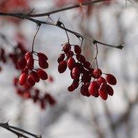 Барбарис зимой :: Олег Афанасьевич Сергеев